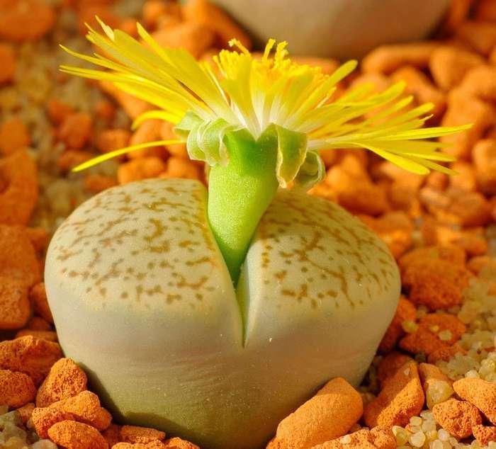 «Живые камни» — литопсы, настоящее чудо природы