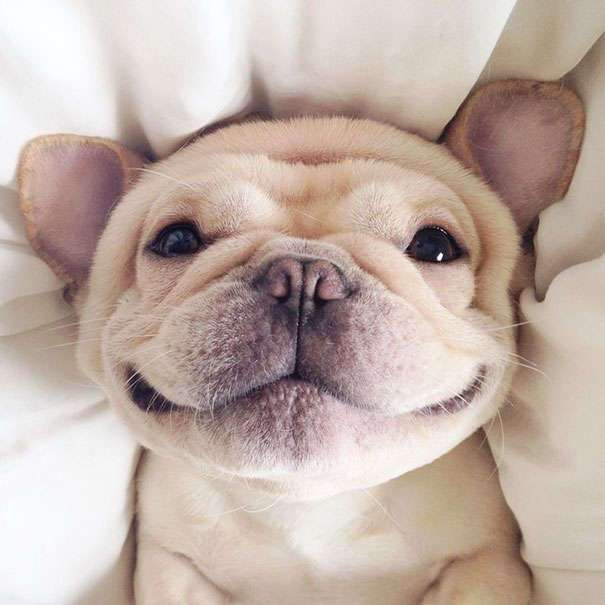 Мило — бульдожек, который очень любит спать