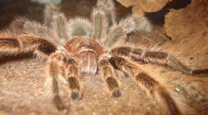 Правда о крупнейших пауках мира