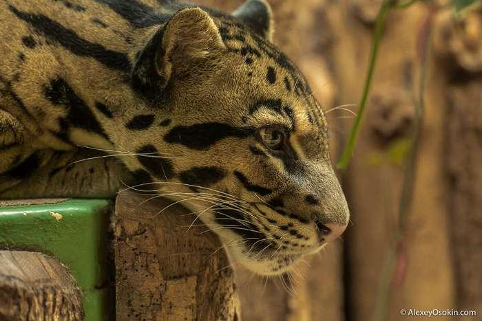 Маленький и грозный: дымчатый леопард