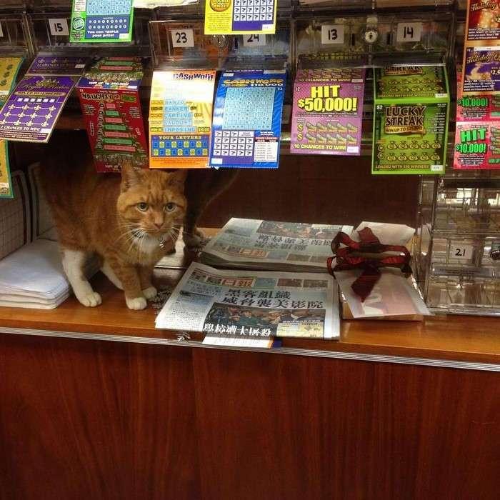 Этот кот уже 9 лет работает без выходных в магазине