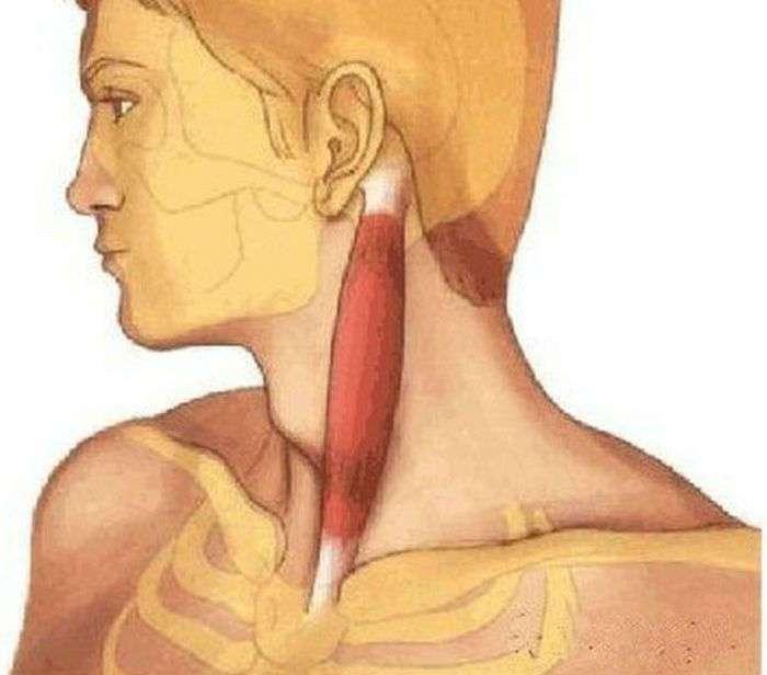 Любопытные факты, которые раскрывают секреты мышц человека