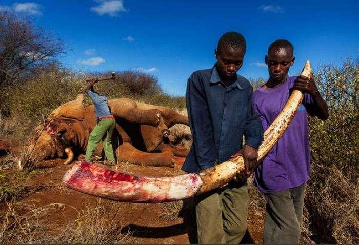 Ужасающая правда о том, кто и зачем убивает слонов