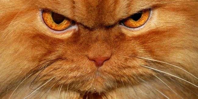 Смешной кот, который на всех сердится