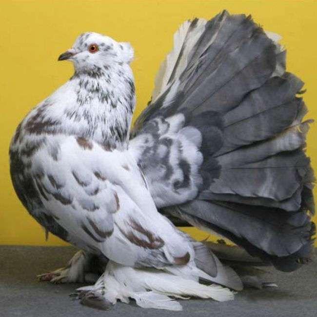 Необыкновенно красивые голуби! Создал же Бог такую красоту