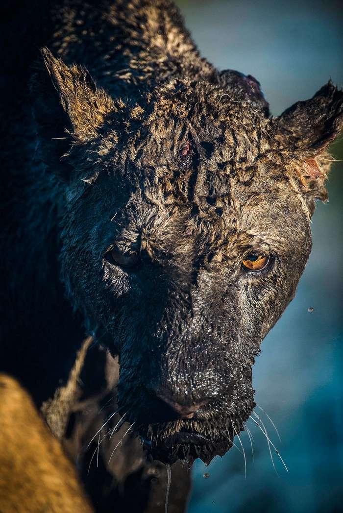 Как буйвол дал яростный отпор двум львицам
