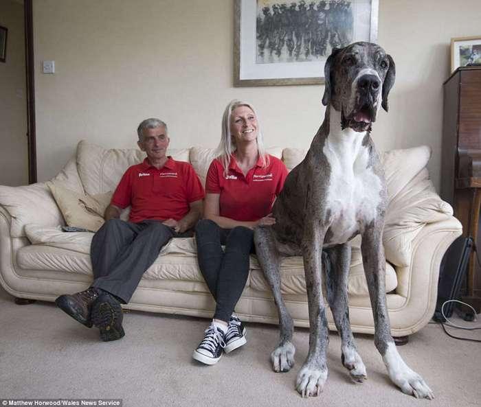 Кажется, это самая высокая собака в мире: двухметровый дог весом 76 кг