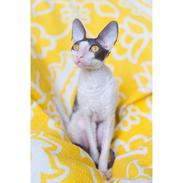 Милейший кот Опал