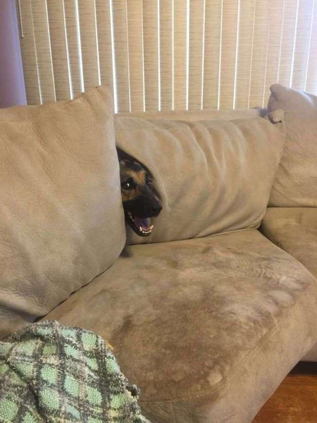 17 собак, которые забыли, как правильно использовать диван