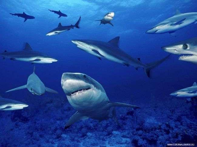 У акул обнаружены признаки личности