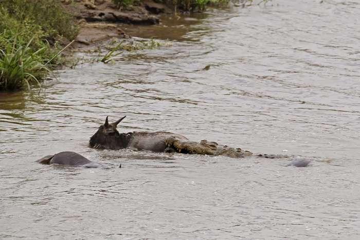 Добрый бегемот спас антилопу гну от смерти в пасти крокодила