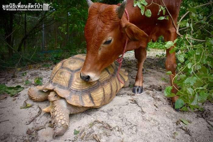 Гигантская черепаха и теленок, потерявший лапу, стали лучшими друзьями