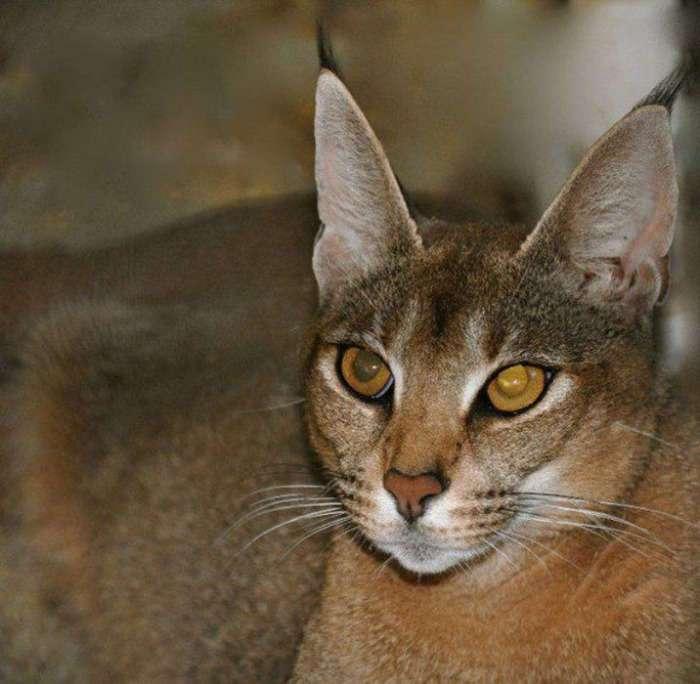 Играя в доктора Моро: каракет – самая дорогая и самая редкая порода кошек