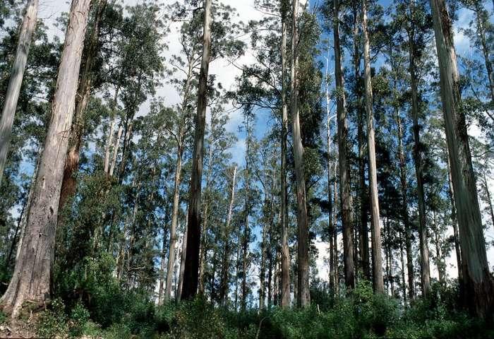 Гигантские эвкалипты Австралии