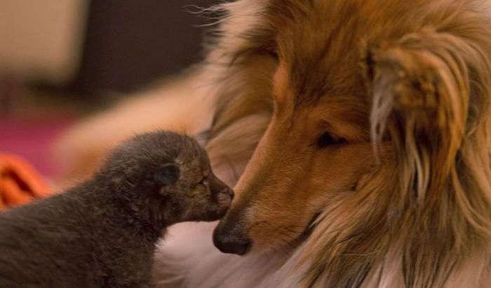Трогательная история осиротевшего лисенка