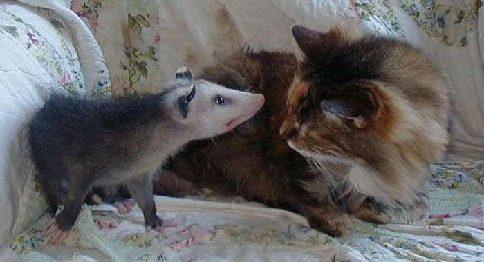 Коты и опоссумы – создания, которые могут подружиться с кем угодно!