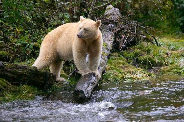 Белый не белый медведь