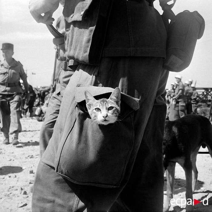 Как кошки участвовали в войне