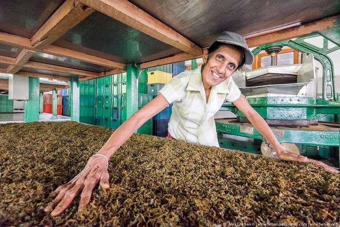 Как собирают и производят чай в Индии