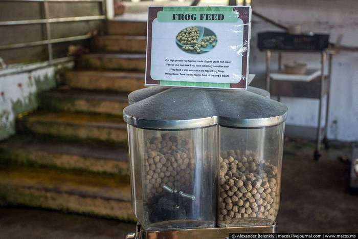 Как выращивают лягушек для еды