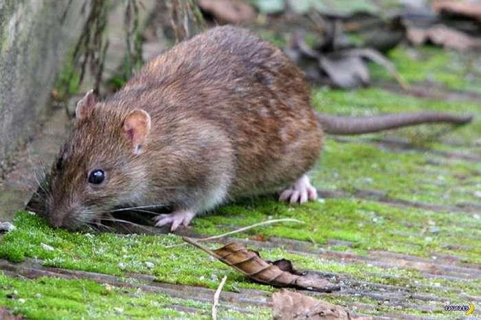 Крысы как орудие жуткой казни