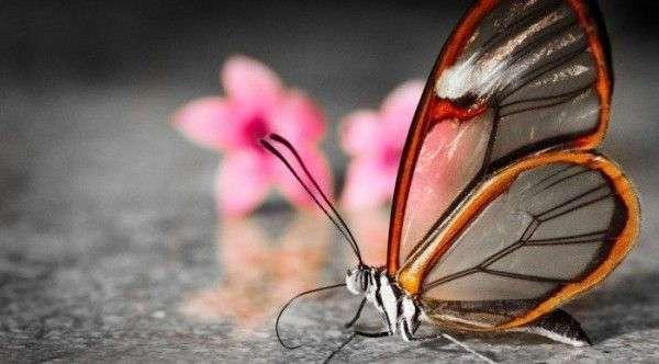 Невероятная бабочка-стеклянница