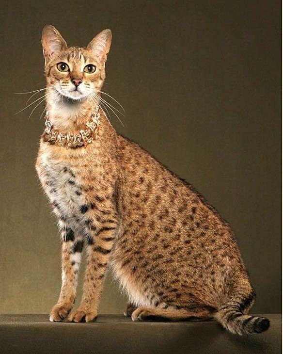 Самые крупные породы домашних кошек