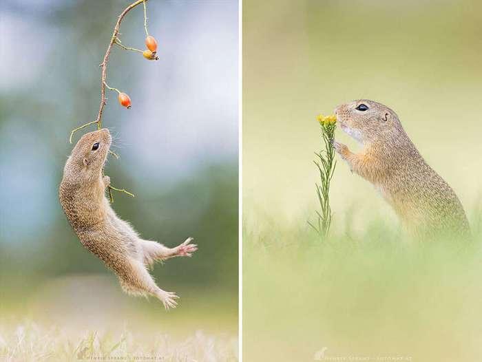 Суслики – самые умилительные создания на Земле!
