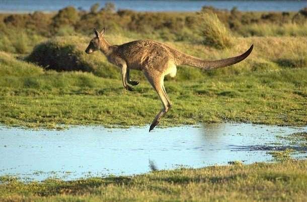 Удивительные факты про кенгуру, которые вы могли не знать
