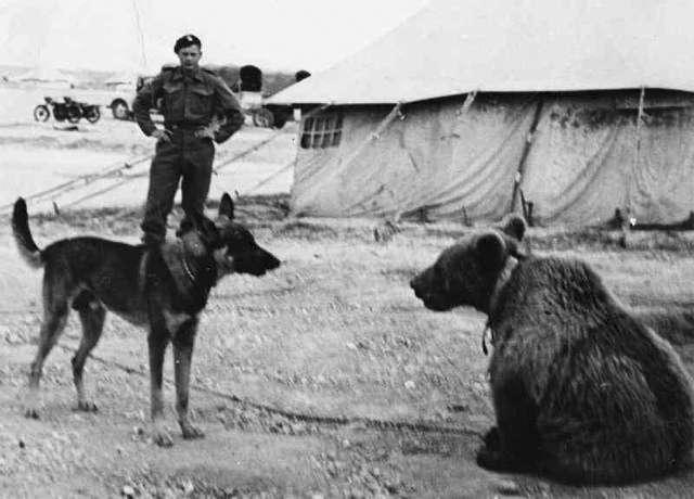 Войтек: история боевого медведя