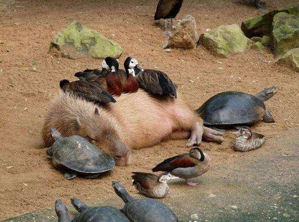 Все любят капибару