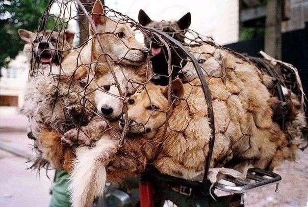 Женщина в Китае выкупила сотню собак со скотобойни (9 фото)