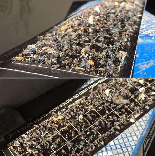 Крупный «улов» липких ловушек для насекомых