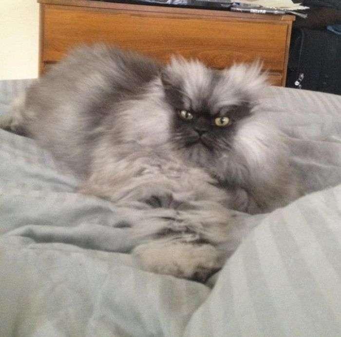 Кот с самым злобным взглядом на свете (28 фото)