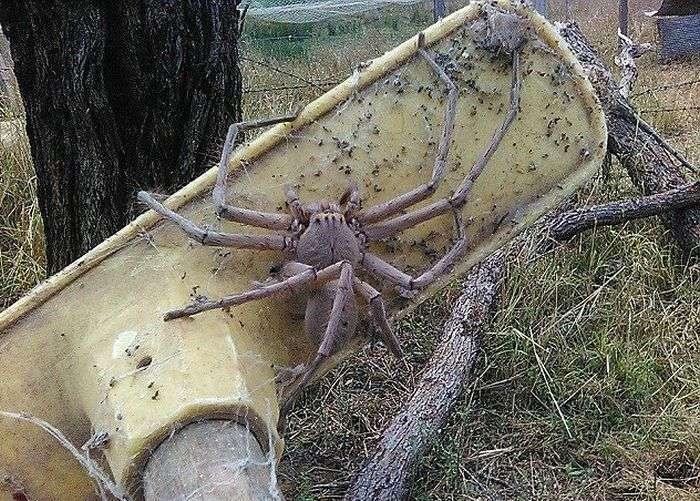 Австралийка сфотографировала самого большого в мире паука