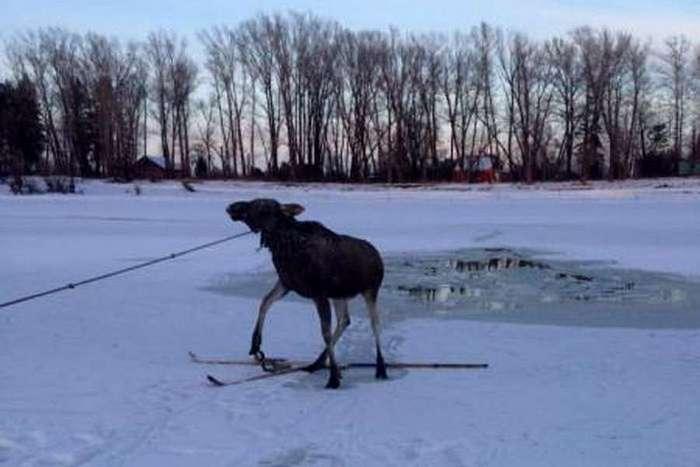 Как алтайские рыбаки спасали провалившегося под лед лося