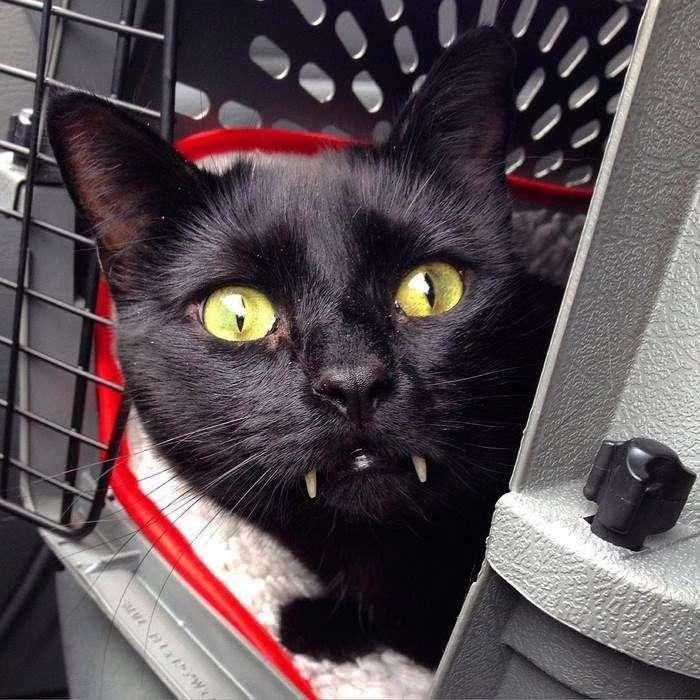 Черный саблезубый кот Манки выглядит как кошачья версия Дракулы