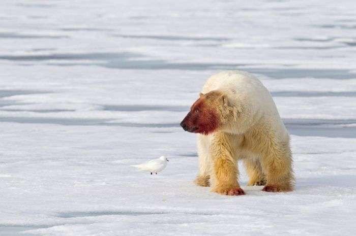 Белый медведь после еды (5 фото)