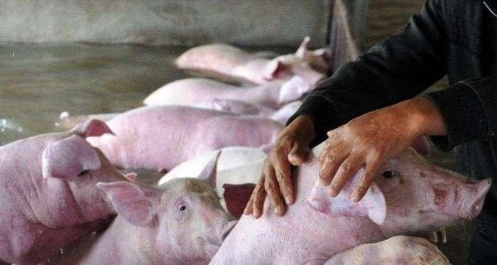 Слезы фермера, вынужденного оставить умирать 6000 своих свиней из-за наводнения