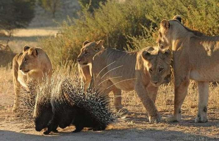 Чем закончилась встреча львов с дикобразами