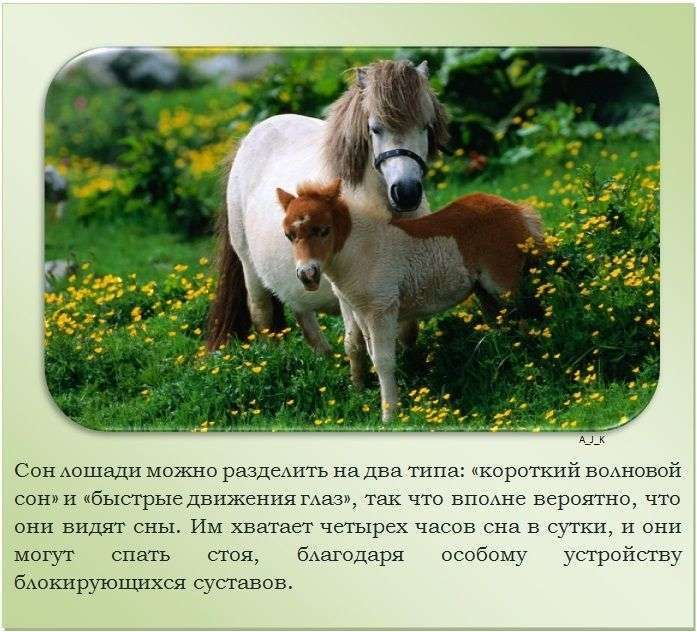 Подборка познавательных фактов о лошадях (24 фото)