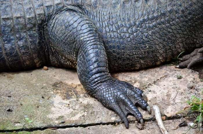 Как выращивают аллигаторов?