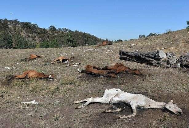 Австралийский фермер заморил голодом 23 лошадей (5 фото)
