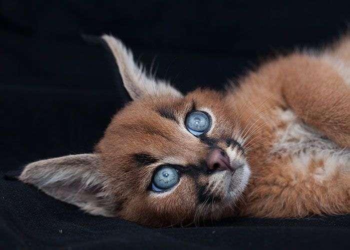 Детеныши каракала - самые очаровательные котята (19 фото)