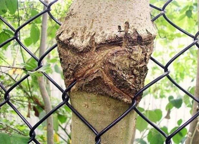 Предметы, вросшие в деревья (17 фото)