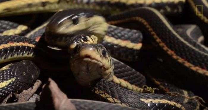 Канадский заповедник Narcisse Snake Dens в брачный сезон змей (12 фото)