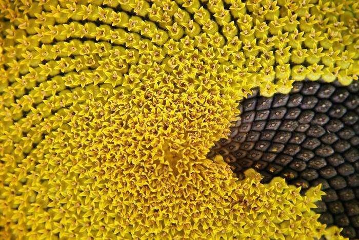 Семечки подсолнуха: польза и интересные факты о семечках (5 фото)
