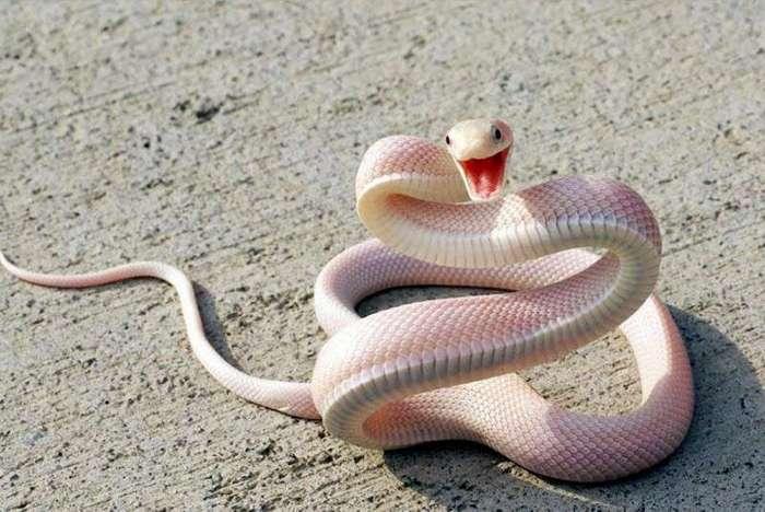 Удивительные животные-альбиносы (20 фото)