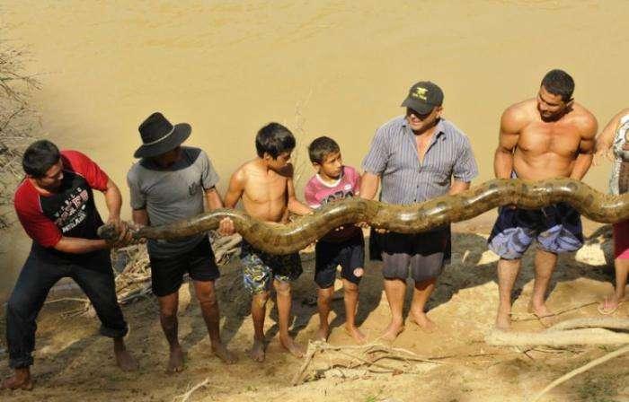 Спасение пятиметровой анаконды (9 фото)