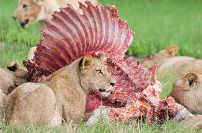 Животные едят животных